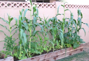Corn and squash, growing together