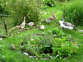 Ducks on slug patrol